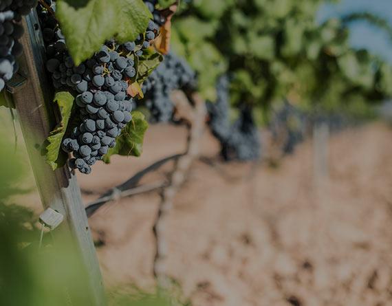 grapevarieties.jpg